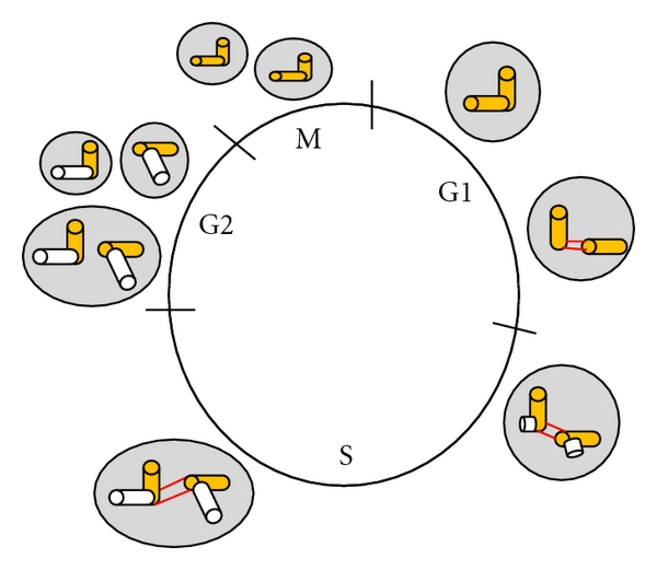 (a) Stages of cell cycle