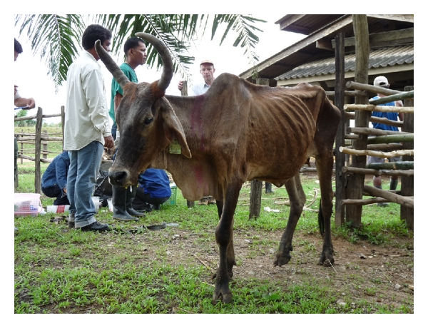 (a) Chronic evolution of surra in local cross-breed cattle, Thailand (M. Desquesnes)