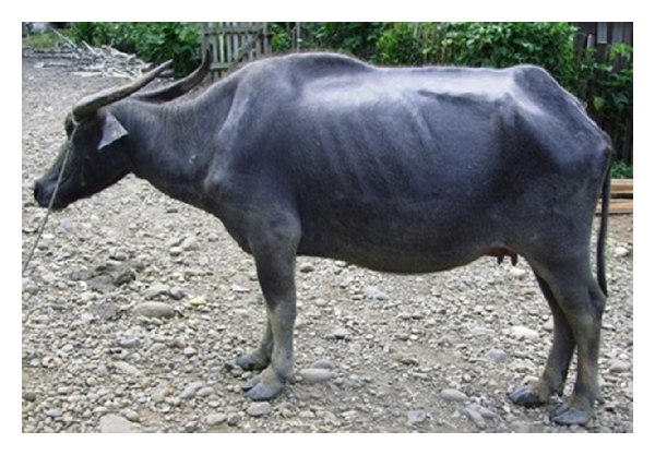 (b) Chronic evolution of surra in a buffalo which aborted twice, Philippines (A. Dargantes)