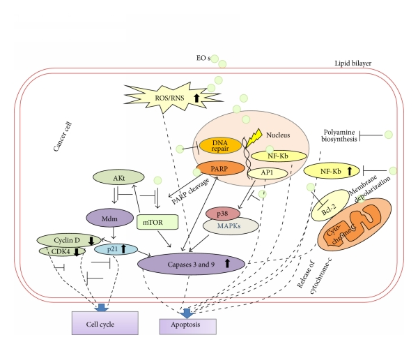 Essential Oils And Their Constituents As Anticancer Agents A Mechanistic View