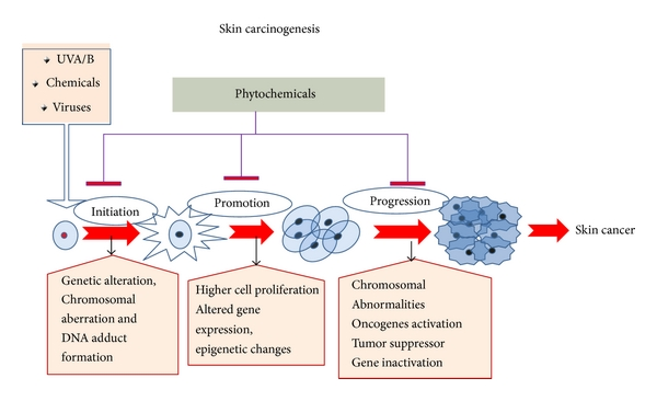 New Enlightenment Of Skin Cancer Chemoprevention Through Phytochemicals In Vitro And In Vivo Studies And The Underlying Mechanisms