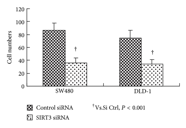 (c) Invasive ability of SW480 and DLD-1 cells