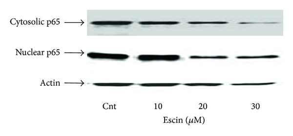 (a) Western blot analysis