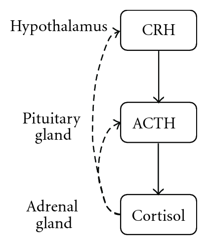 (a) Normal HPA-axis regulation