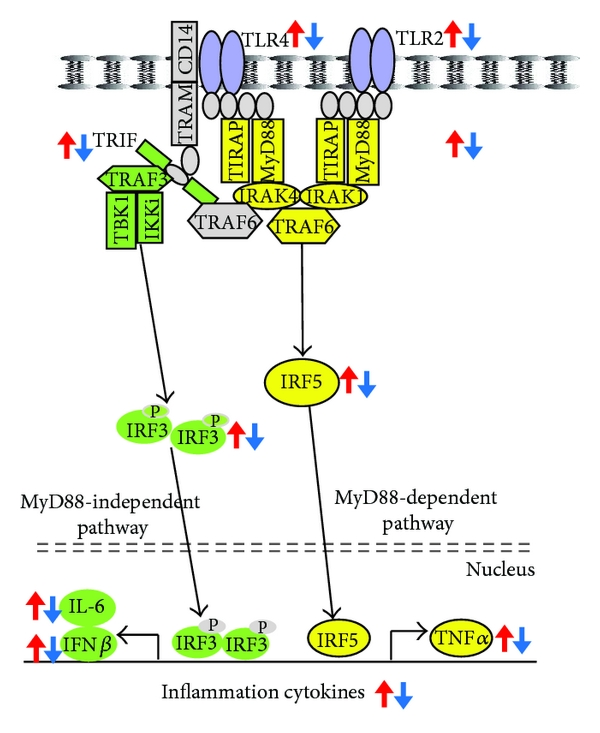 (c)  TLR 2-, 4-mediated signaling