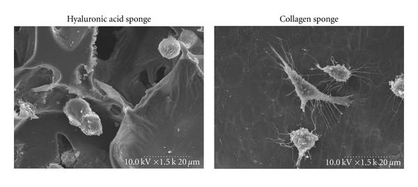 (a) Cell Adhesion on Sponges