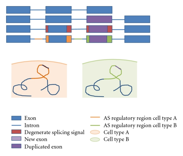 (c) Exon duplication and specialization of isoforms