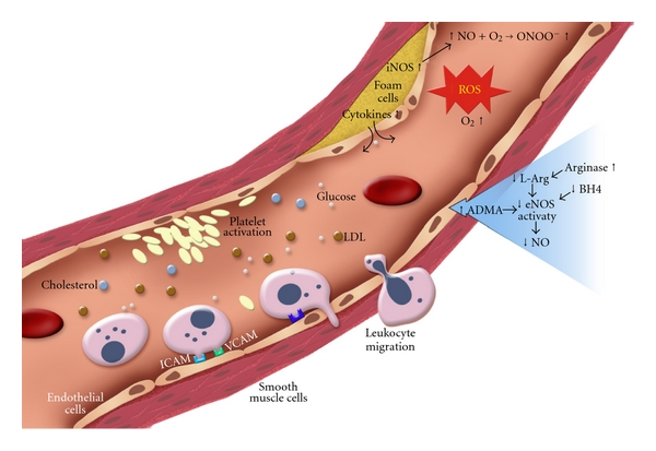 Endothelial Dysfunction And Diabetes  Effects On