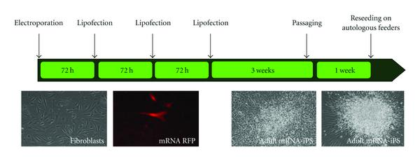 (a) Schematic representation of transfection and cultivation procedure