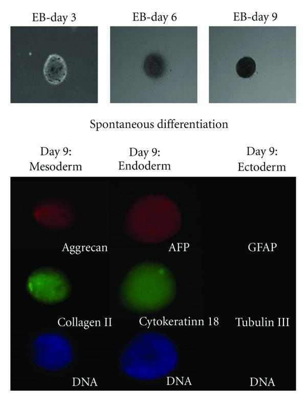 (a) Adult mRNA-iPS cells: Spontaneous differentiation