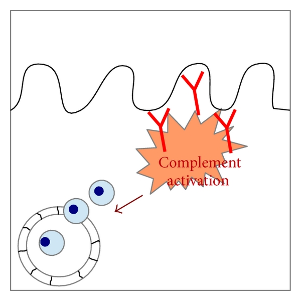 (b) Complement activation