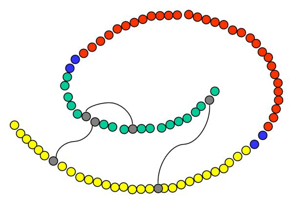 (a) Schematic representation of human proinsulin. Drawing based on Chance et al. [5]. B-chain (yellow) and A-chain (green) are linked by C-peptide (red) via two pairs of basic amino acid residues (blue)