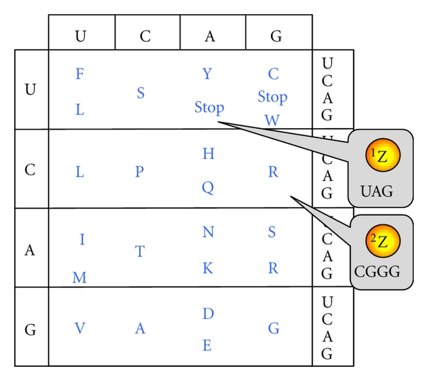 (a)  Genetic code expansion (amber codon, 4-base codon)