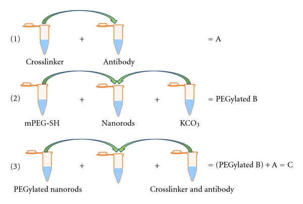 (b) Conjugation of Antibody to PEGylated Gold Nanorod