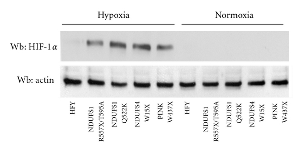 (b) Lysates of cells treated as in (a) were subjected to HIF-1α immunoblot analysis