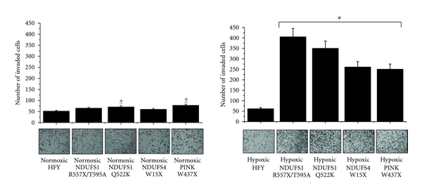 (a) Boyden cell invasion assay. Control and mutated fibroblasts were incubated in low glucose serum-free media in normoxic or hypoxic conditions (1% O2) for 24 hours. Media are then collected, and monolayers of A375 human melanoma cells were incubated in these conditioned media for 24 hours. 15    ×    103 A375 melanoma cells were seeded into the upper compartment of Boyden chambers. Cells were allowed to migrate through the filter toward the lower compartment filled with complete medium for 24 hours. Cell invasion was evaluated after Diff-Quick staining by counting cell in six randomly chosen fields. The results are representative of three experiments with similar results ±    𝑃