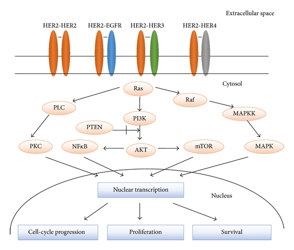 Human Epidermal Growth Factor Receptor 2 Her2 In Cancers Overexpression And Therapeutic Implications