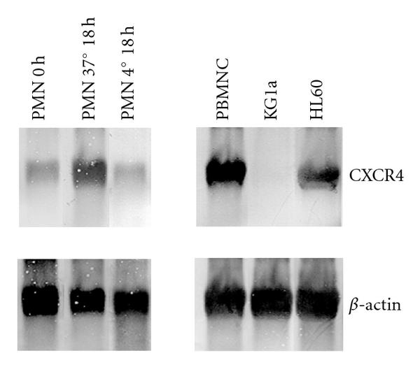 (e) Expression of CXCR4 mRNA in freshly isolated (0 hours), aged (18 hours, 37°C) PMN  and cells kept at 4°C to prevent senescence, as analyzed by Northern blot of total RNA. Positive control: mononuclear cells (PBMNCs) and HL-60. Negative control: KG1a. β-actin was used as an internal standard and control for equal mRNA loading
