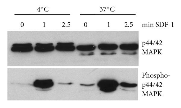 (c) Phosphorylation of p44/42 MAP kinase (Erk1/2) in human PMN induced by SDF-1. Cells were cultured in serum-free medium for 18 hours at 37°C (aged in vitro) and 4°C, respectively. After stimulation with SDF-1 at 37°C for the time intervals indicated, whole cell lysates were prepared and analyzed by Western blot for phosphorylated p44/42 MAPK (lower lane). As a control, total p44/42 MAPK is shown in the upper lane