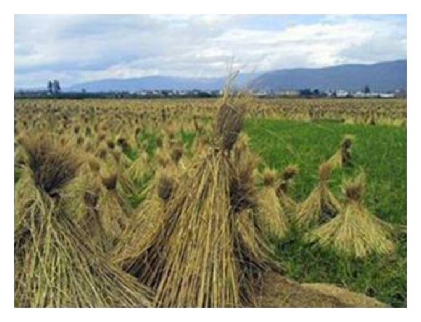 (a) Rice straw bunch