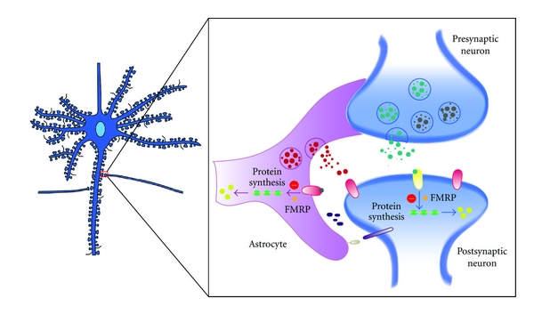 (a)   Under normal conditions, astrocytes can promote synaptogenesis via direct and/or indirect contact with neurons through the release of soluble factors. Astrocytes also release a variety of neuroactive substances (gliotransmitters) to modulate synaptic transmission and plasticity. Astrocyte FMRP plays an important role in shaping the neuron morphology and synaptic protein profiles. FMRP has been shown to inhibit translation of specific mRNAs.