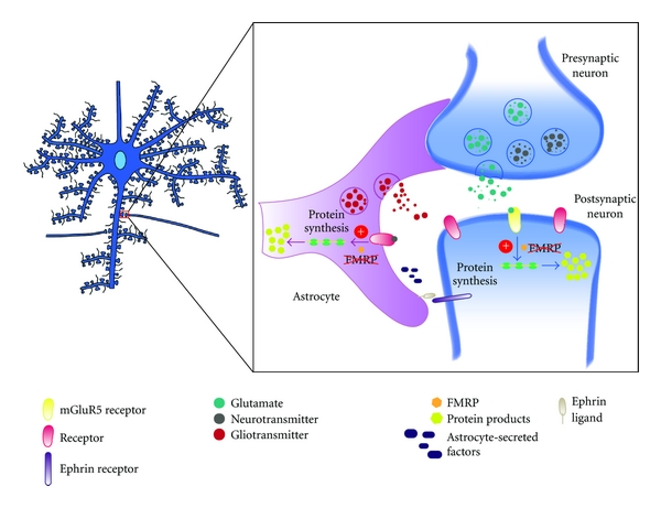 (b) In the FXS disease state, nonfunctional FMRP in neurons leads to the dysregulation of synaptic protein synthesis and abnormal dendritic morphologies. FMRP may play a similar role in astrocytes as in neurons, functioning as a negative regulator of protein translation. In FMRP-deficient mice, the inability to repress translation is lost. mGluR5 stimulation, associated with dysregulated FMRP protein levels, results in increased levels of FMRP targeting mRNAs. Basal protein levels encoded by these target mRNAs become significantly elevated and thus improperly regulated. Aberrant spine and dendritic morphology is apparent through increased branching and an abundance of immature spines (filopodial projections).