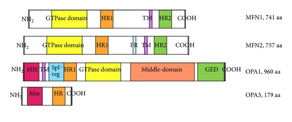 (b) Functional domains of the mitochondrial fusion proteins