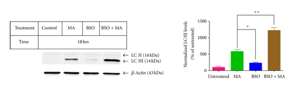 (c) Effect of BSO on MA-induced upregulation of LC3-II